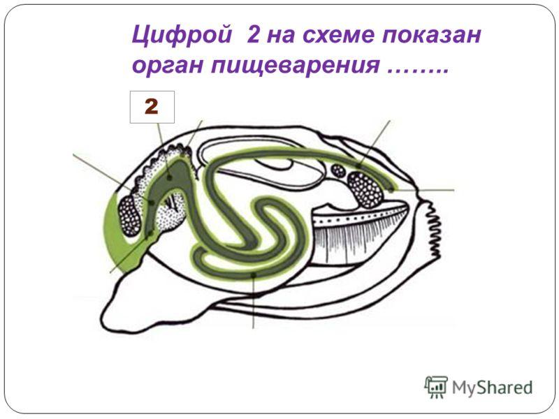2 Цифрой 2 на схеме показан орган пищеварения ……..
