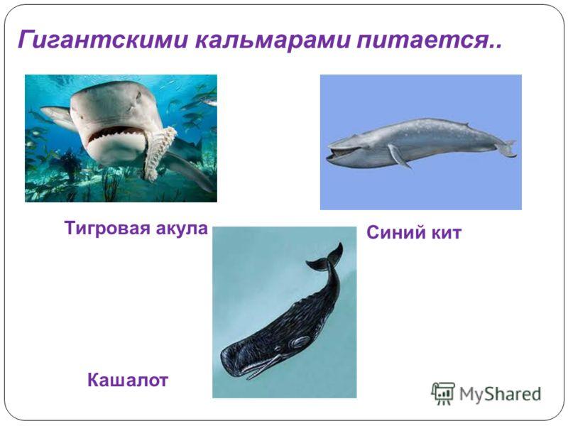 Гигантскими кальмарами питается.. Тигровая акула Синий кит Кашалот