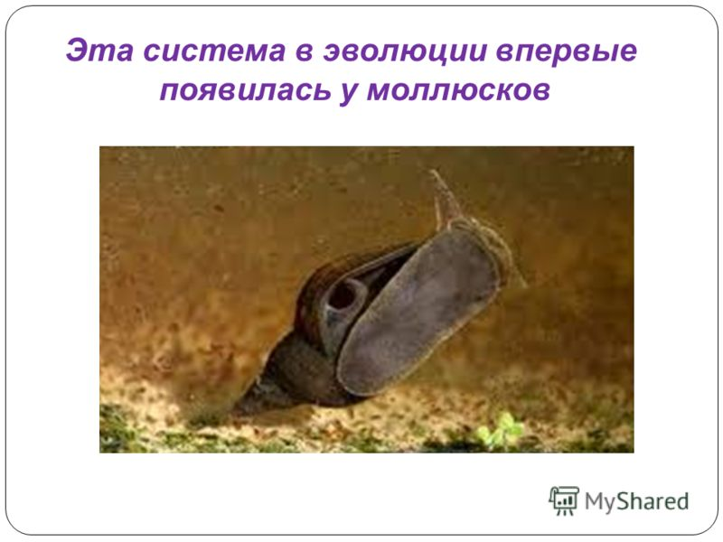 Эта система в эволюции впервые появилась у моллюсков