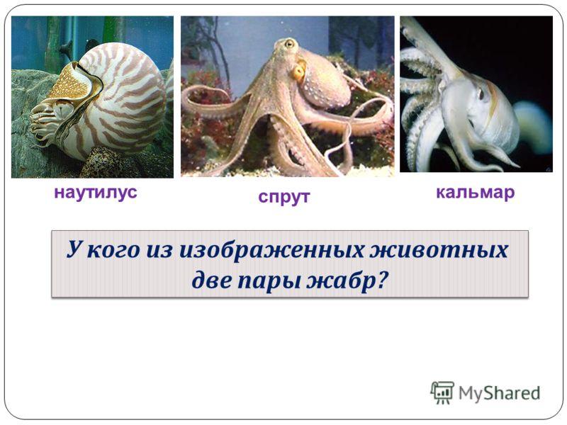 наутилус спрут кальмар У кого из изображенных животных две пары жабр ? У кого из изображенных животных две пары жабр ?