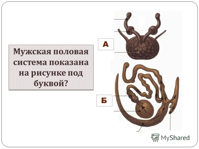 А Б Мужская половая система показана на рисунке под буквой ? Мужская половая система показана на рисунке под буквой ?