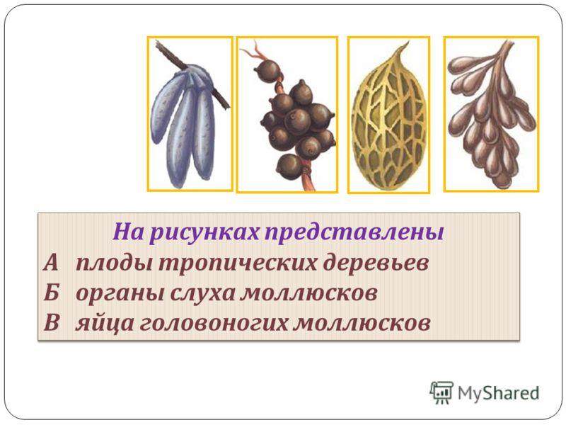 На рисунках представлены А плоды тропических деревьев Б органы слуха моллюсков В яйца головоногих моллюсков На рисунках представлены А плоды тропических деревьев Б органы слуха моллюсков В яйца головоногих моллюсков