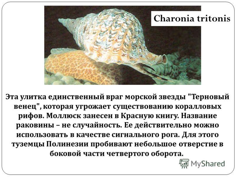 Charonia tritonis Эта улитка единственный враг морской звезды