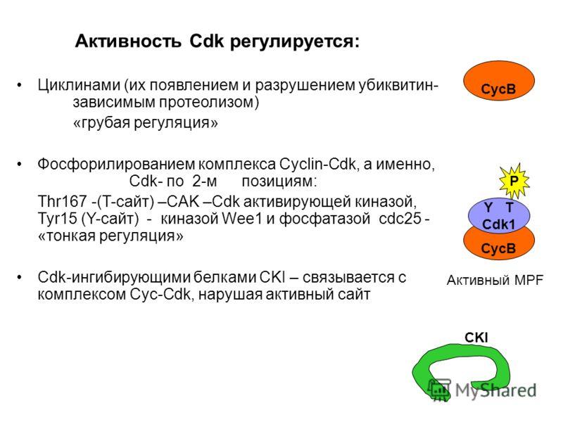 Активность Cdk регулируется: Циклинами (их появлением и разрушением убиквитин- зависимым протеолизом) «грубая регуляция» Фосфорилированием комплекса Cyclin-Cdk, а именно, Cdk- по 2-м позициям: Thr167 -(T-сайт) –CAK –Cdk активирующей киназой, Tyr15 (Y