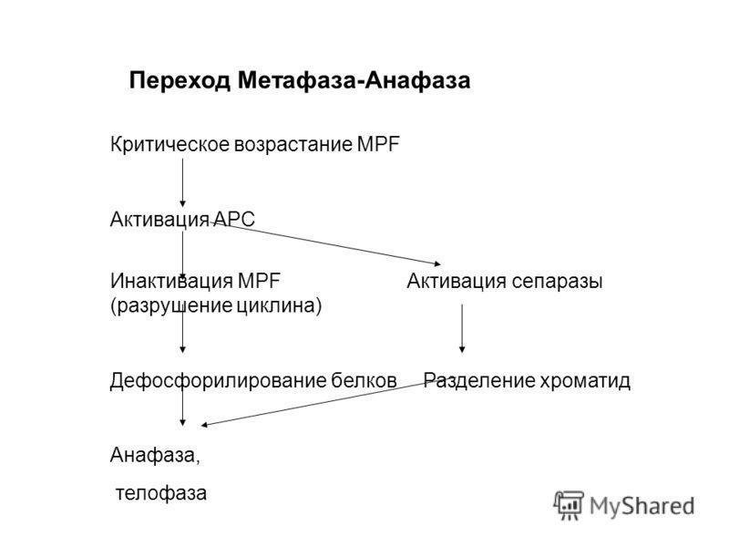 Переход Метафаза-Анафаза Критическое возрастание MPF Активация APC Инактивация MPF Активация сепаразы (разрушение циклина) Дефосфорилирование белков Разделение хроматид Анафаза, телофаза