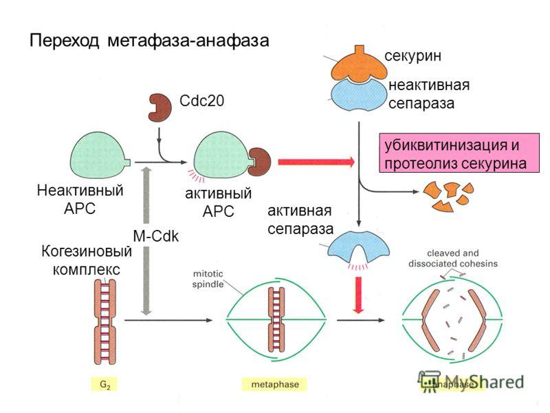 Переход метафаза-анафаза секурин неактивная сепараза Неактивный АРС Когезиновый комплекс активный АРС Cdc20 убиквитинизация и протеолиз секурина активная сепараза M-Cdk