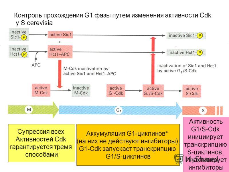 Контроль прохождения G1 фазы путем изменения активности Cdk у S.cerevisia Супрессия всех Активностей Cdk гарантируется тремя способами Аккумуляция G1-циклинов٭ (на них не действуют ингибиторы). G1-Cdk запускает транскрипцию G1/S-циклинов Активность G