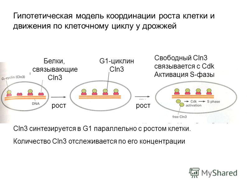 Гипотетическая модель координации роста клетки и движения по клеточному циклу у дрожжей Белки, cвязывающие Cln3 G1-циклин Cln3 Cln3 синтезируется в G1 параллельно с ростом клетки. Количество Cln3 отслеживается по его концентрации рост Свободный Cln3
