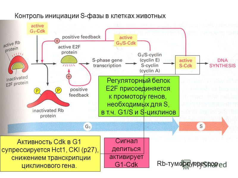 Контроль инициации S-фазы в клетках животных Активность Cdk в G1 супрессируется Hct1, CKI (p27), снижением транскрипции циклинового гена. Регуляторный белок E2F присоединяется к промотору генов, необходимых для S, в т.ч. G1/S и S-циклинов Сигнал дели