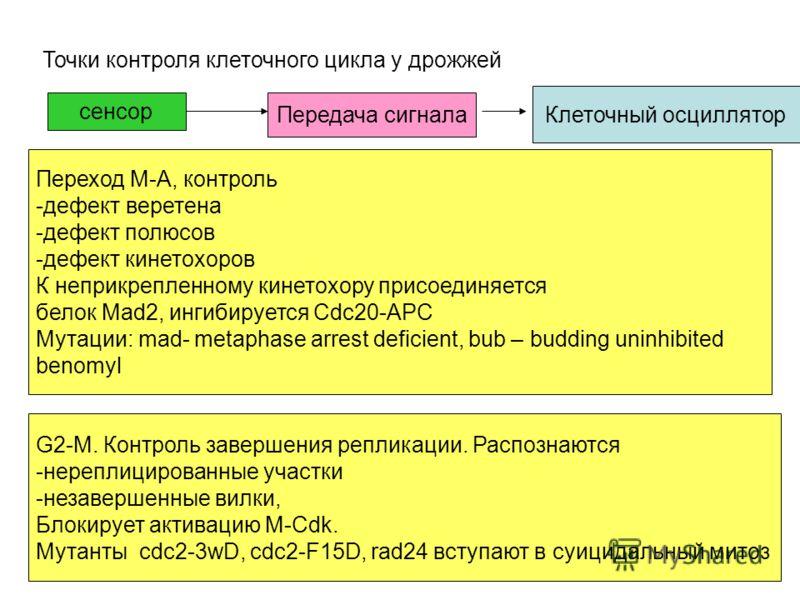 Точки контроля клеточного цикла у дрожжей Метафаза- анафаза G1-S Переход М-А, контроль -дефект веретена -дефект полюсов -дефект кинетохоров К неприкрепленному кинетохору присоединяется белок Mad2, ингибируется Cdc20-APC Мутации: mad- metaphase arrest