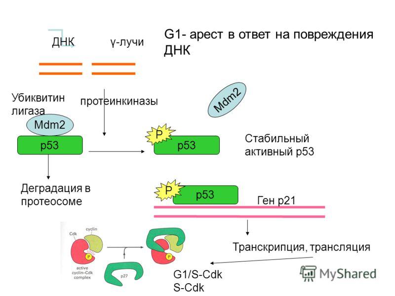 Mdm2 p53 P P ДНК γ-лучи Деградация в протеосоме Стабильный активный р53 протеинкиназы Ген р21 Транскрипция, трансляция G1/S-Cdk S-Cdk G1- арест в ответ на повреждения ДНК Убиквитин лигаза