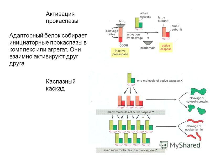 Активация прокаспазы Каспазный каскад Адапторный белок собирает инициаторные прокаспазы в комплекс или агрегат. Они взаимно активируют друг друга