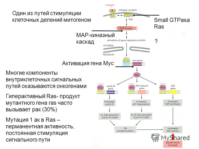 Один из путей стимуляции клеточных делений митогеном Small GTPasa Ras MAP-киназный каскад Активация гена Myc ? Многие компоненты внутриклеточных сигнальных путей оказываются онкогенами Гиперактивный Ras- продукт мутантного гена ras часто вызывает рак
