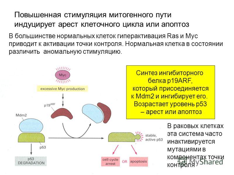 В большинстве нормальных клеток гиперактивация Ras и Myc приводит к активации точки контроля. Нормальная клетка в состоянии различить аномальную стимуляцию. Повышенная стимуляция митогенного пути индуцирует арест клеточного цикла или апоптоз Синтез и