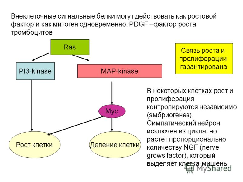 Внеклеточные сигнальные белки могут действовать как ростовой фактор и как митоген одновременно: PDGF –фактор роста тромбоцитов Ras PI3-kinase MAP-kinase Myc Рост клеткиДеление клетки Связь роста и пролиферации гарантирована В некоторых клетках рост и
