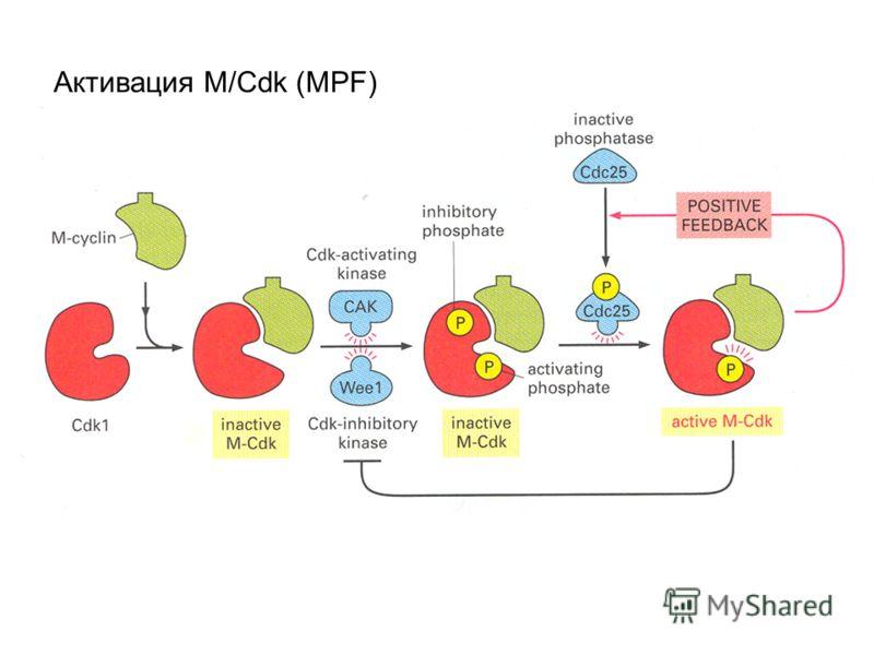 Активация M/Cdk (MPF)