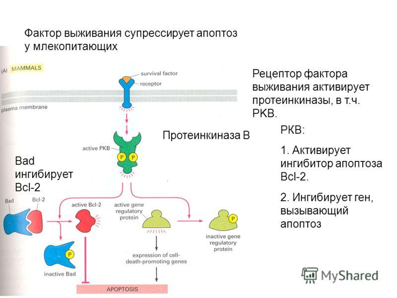 Фактор выживания супрессирует апоптоз у млекопитающих Протеинкиназа В Рецептор фактора выживания активирует протеинкиназы, в т.ч. PKB. Bad ингибирует Bcl-2 РКВ: 1. Активирует ингибитор апоптоза Bcl-2. 2. Ингибирует ген, вызывающий апоптоз