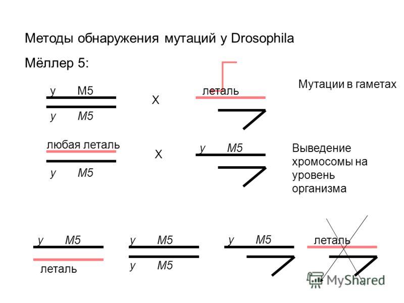 Методы обнаружения мутаций у Drosophila Мёллер 5: y M5 X леталь X y M5 леталь любая леталь Мутации в гаметах y M5 Выведение хромосомы на уровень организма