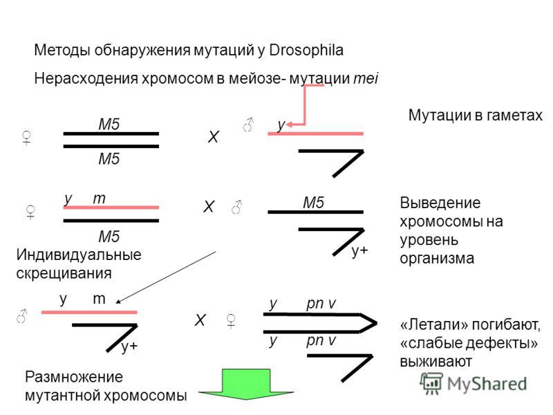 Методы обнаружения мутаций у Drosophila Нерасходения хромосом в мейозе- мутации mei M5 X y X y pn v y m Мутации в гаметах y+ Выведение хромосомы на уровень организма y+ y pn v X Размножение мутантной хромосомы Индивидуальные скрещивания «Летали» поги