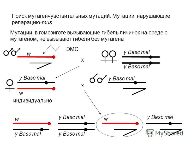 Поиск мутагенчувствительных мутаций. Мутации, нарушающие репарацию-mus Мутации, в гомозиготе вызывающие гибель личинок на среде с мутагеном, не вызывают гибели без мутагена w y Basc mal w w w ЭМС х х индивидуально