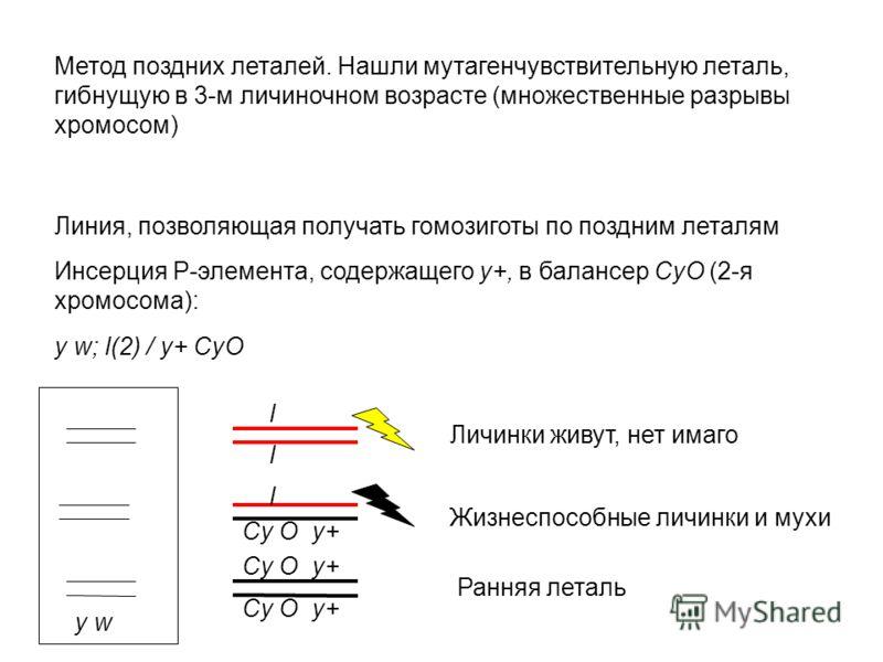 Метод поздних леталей. Нашли мутагенчувствительную леталь, гибнущую в 3-м личиночном возрасте (множественные разрывы хромосом) Линия, позволяющая получать гомозиготы по поздним леталям Инсерция Р-элемента, содержащего у+, в балансер CyO (2-я хромосом