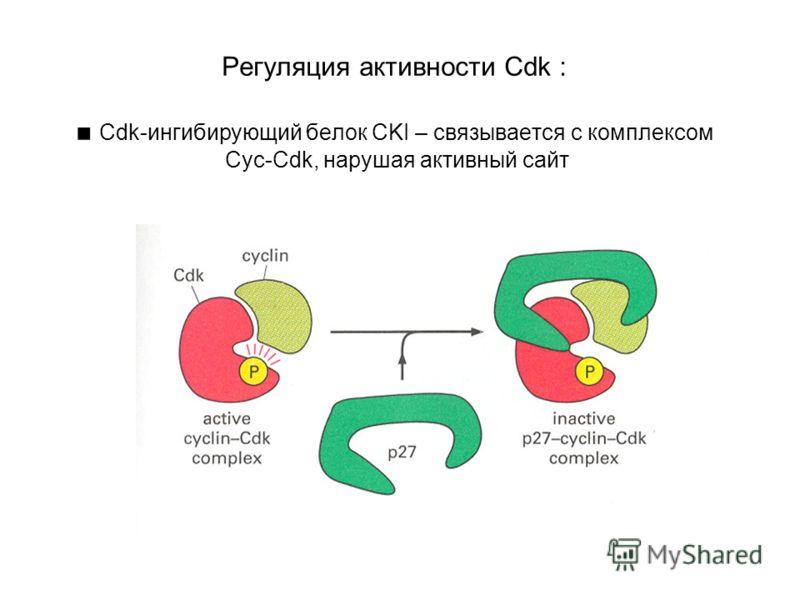 Регуляция активности Cdk : Cdk-ингибирующий белок CKI – связывается с комплексом Cyc-Cdk, нарушая активный сайт