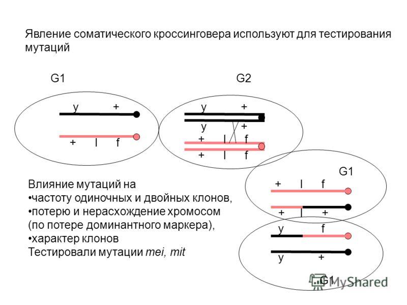+ l f y + G1G2 y + y f y + + l f + l + G1 Явление соматического кроссинговера используют для тестирования мутаций Влияние мутаций на частоту одиночных и двойных клонов, потерю и нерасхождение хромосом (по потере доминантного маркера), характер клонов