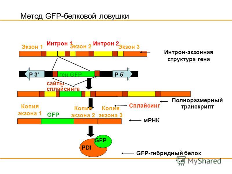 Метод GFP-белковой ловушки Экзон 1 Интрон 1 Интрон 2 P 5ген GFPP 3 сайты сплайсинга GFP PDI Интрон-экзонная структура гена Сплайсинг мРНК GFP-гибридный белок Полноразмерный транскрипт Копия экзона 1 Копия экзона 2 Копия экзона 3 Экзон 2 Экзон 3