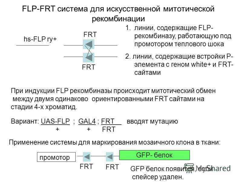 FLP-FRT система для искусственной митотической рекомбинации hs-FLP ry+ При индукции FLP рекомбиназы происходит митотический обмен между двумя одинаково ориентированными FRT сайтами на стадии 4-х хроматид. Применение системы для маркирования мозаичног