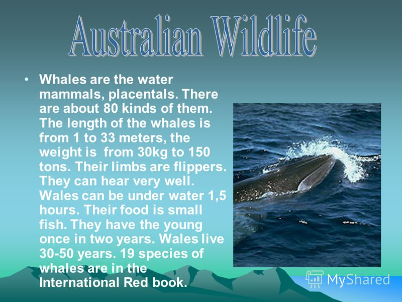 Whales are the water mammals, placentals. There are about 80 kinds of them. The length of the whales is from 1 to 33 meters, the weight is from 30kg to 150 tons. Their limbs are flippers. They can hear very well. Wales can be under water 1,5 hours. T