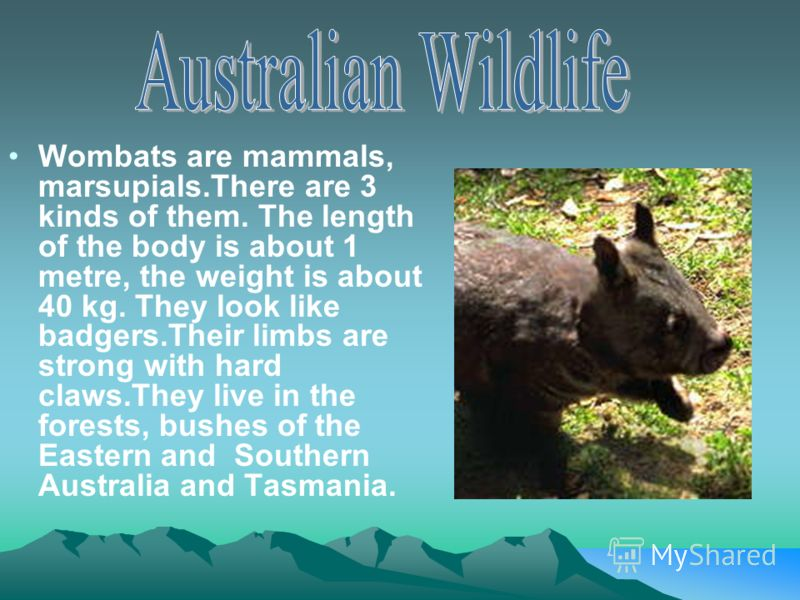 Wombats are mammals, marsupials.There are 3 kinds of them. The length of the body is about 1 metre, the weight is about 40 kg. They look like badgers.Their limbs are strong with hard claws.They live in the forests, bushes of the Eastern and Southern