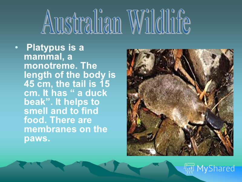 Platypus is a mammal, a monotreme. The length of the body is 45 cm, the tail is 15 cm. It has a duck beak. It helps to smell and to find food. There are membranes on the paws.