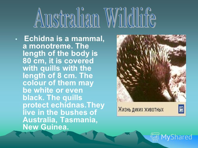 Echidna is a mammal, a monotreme. The length of the body is 80 cm, it is covered with quills with the length of 8 cm. The colour of them may be white or even black. The quills protect echidnas.They live in the bushes of Australia, Tasmania, New Guine