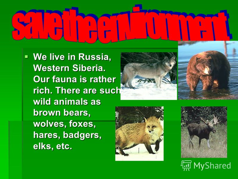 We live in Russia, Western Siberia. Our fauna is rather rich. There are such wild animals as brown bears, wolves, foxes, hares, badgers, elks, etc. We live in Russia, Western Siberia. Our fauna is rather rich. There are such wild animals as brown bea