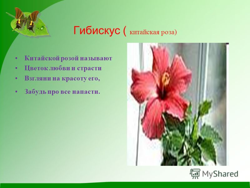 Гибискус ( китайская роза) Китайской розой называют Цветок любви и страсти Взгляни на красоту его, Забудь про все напасти.