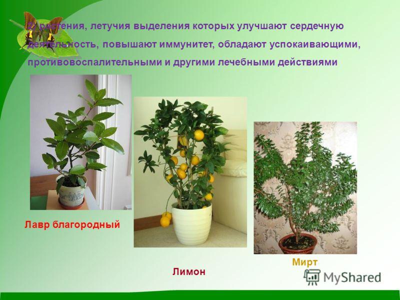 2) растения, летучия выделения которых улучшают сердечную деятельность, повышают иммунитет, обладают успокаивающими, противовоспалительными и другими лечебными действиями Лавр благородный Лимон Мирт