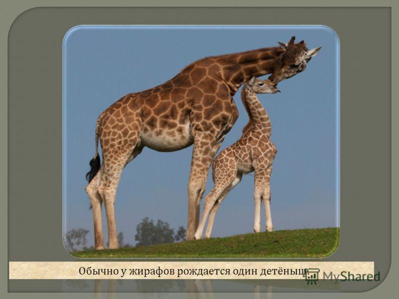 Обычно у жирафов рождается один детёныш.