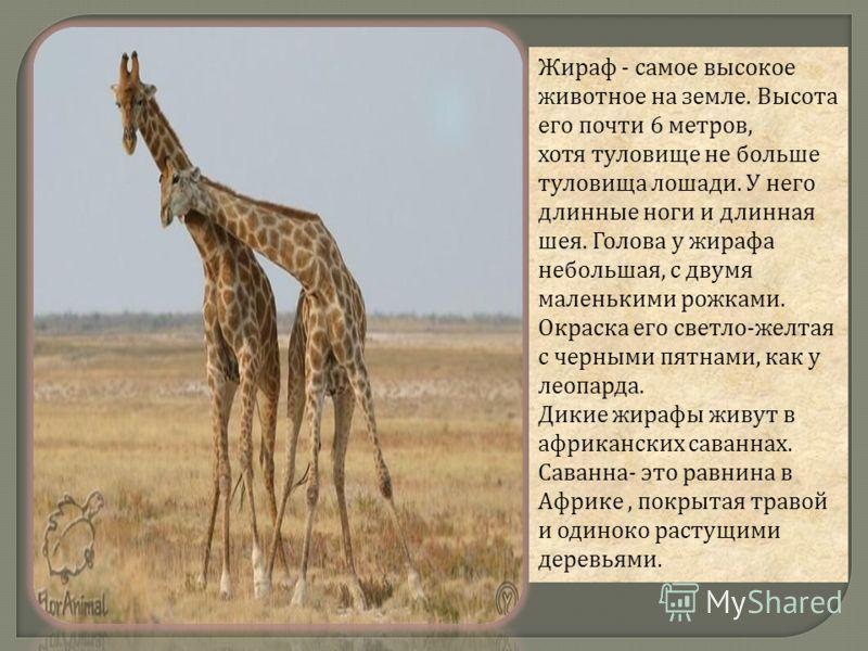 Жираф - самое высокое животное на земле. Высота его почти 6 метров, хотя туловище не больше туловища лошади. У него длинные ноги и длинная шея. Голова у жирафа небольшая, с двумя маленькими рожками. Окраска его светло - желтая с черными пятнами, как