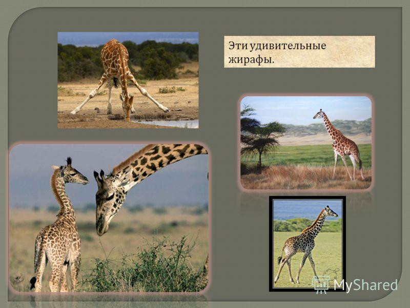 Эти удивительные жирафы.