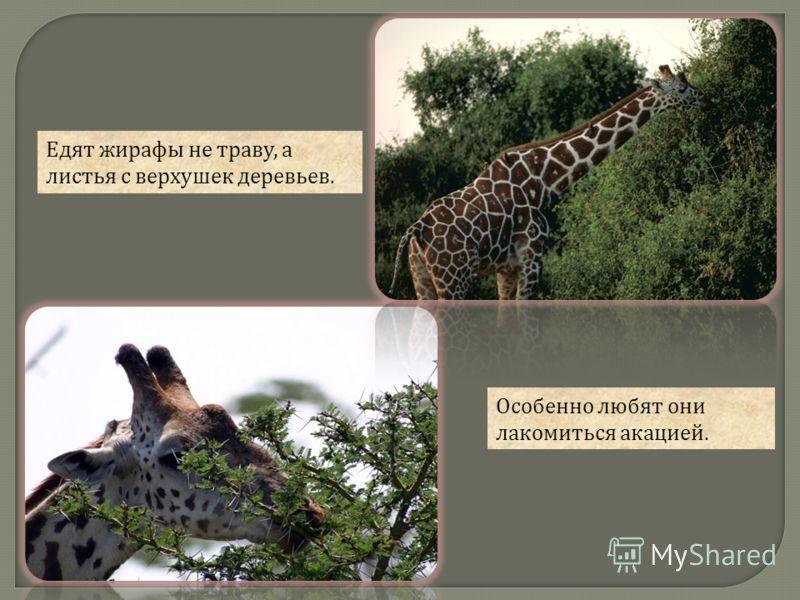 Едят жирафы не траву, а листья с верхушек деревьев. Особенно любят они лакомиться акацией.