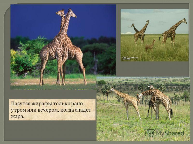 Пасутся жирафы только рано утром или вечером, когда спадет жара.
