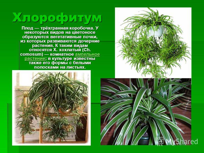 Хлорофитум Плод трёхгранная коробочка. У некоторых видов на цветоносе образуются вегетативные почки, из которых развиваются дочерние растения. К таким видам относятся Х. хохлатый (Ch. comosum) комнатное ампельное растение; в культуре известны также е