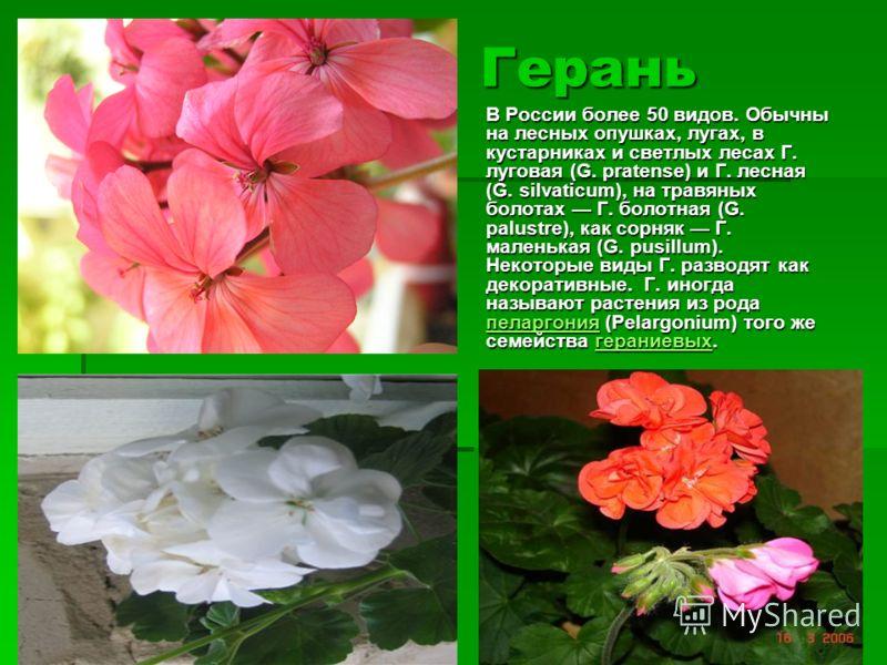 Герань В России более 50 видов. Обычны на лесных опушках, лугах, в кустарниках и светлых лесах Г. луговая (G. pratense) и Г. лесная (G. silvaticum), на травяных болотах Г. болотная (G. palustre), как сорняк Г. маленькая (G. pusillum). Некоторые виды