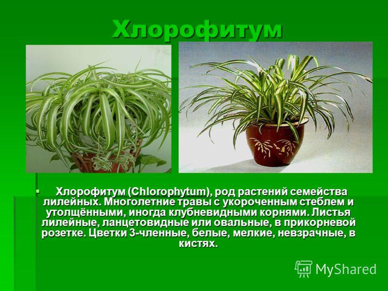 Хлорофитум Хлорофитум (Chlorophytum), род растений семейства лилейных. Многолетние травы с укороченным стеблем и утолщёнными, иногда клубневидными корнями. Листья лилейные, ланцетовидные или овальные, в прикорневой розетке. Цветки 3-членные, белые, м