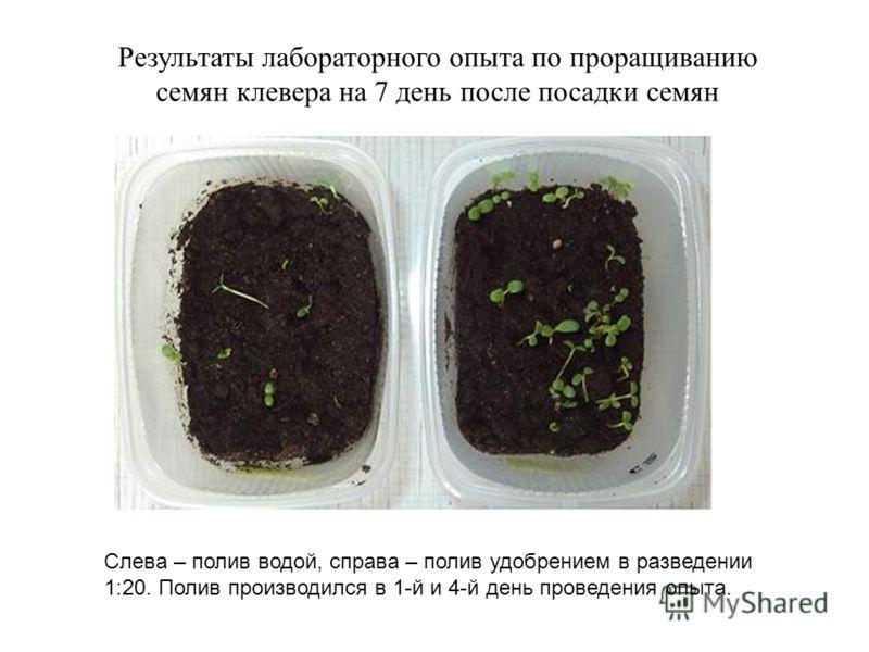 Результаты лабораторного опыта по проращиванию семян клевера на 7 день после посадки семян Слева – полив водой, справа – полив удобрением в разведении 1:20. Полив производился в 1-й и 4-й день проведения опыта.