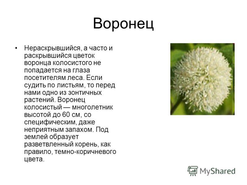 Воронец Нераскрывшийся, а часто и раскрывшийся цветок воронца колосистого не попадается на глаза посетителям леса. Если судить по листьям, то перед нами одно из зонтичных растений. Воронец колосистый многолетник высотой до 60 см, со специфическим, да