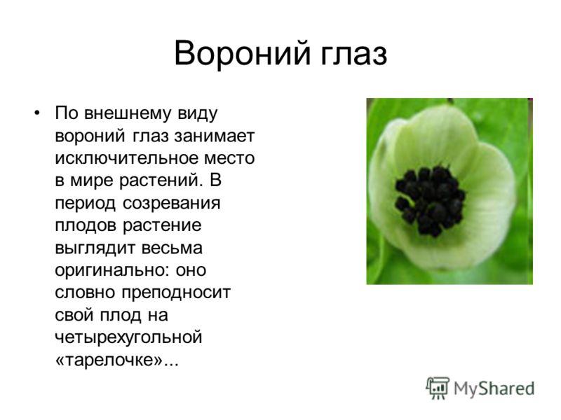 Вороний глаз По внешнему виду вороний глаз занимает исключительное место в мире растений. В период созревания плодов растение выглядит весьма оригинально: оно словно преподносит свой плод на четырехугольной «тарелочке»...