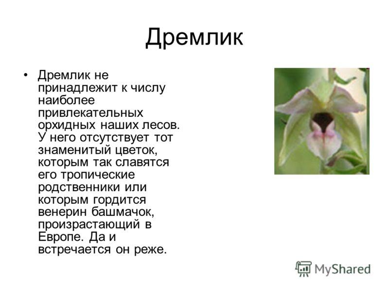 Дремлик Дремлик не принадлежит к числу наиболее привлекательных орхидных наших лесов. У него отсутствует тот знаменитый цветок, которым так славятся его тропические родственники или которым гордится венерин башмачок, произрастающий в Европе. Да и вст