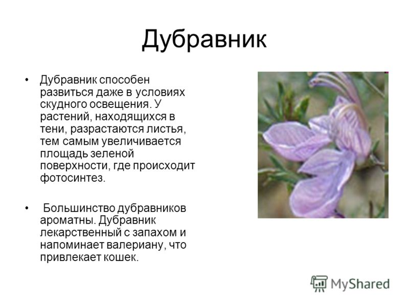 Дубравник Дубравник способен развиться даже в условиях скудного освещения. У растений, находящихся в тени, разрастаются листья, тем самым увеличивается площадь зеленой поверхности, где происходит фотосинтез. Большинство дубравников ароматны. Дубравни