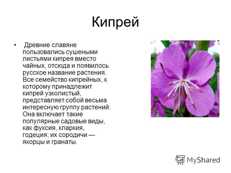 Кипрей Древние славяне пользовались сушеными листьями кипрея вместо чайных, отсюда и появилось русское название растения. Все семейство кипрейных, к которому принадлежит кипрей узколистый, представляет собой весьма интересную группу растений. Она вкл